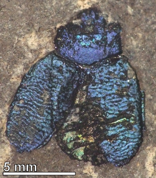 Figure 5. A chrysomelid beetle from the Eocene of Eckfeld, Germany.  The color is structural in origin.
