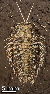 The trilobite Triarthrus, preserved in pyrite, from the Ordovician of Upstate New York.